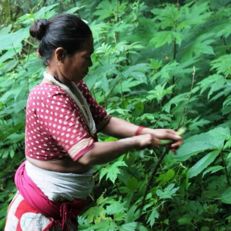 ortica selvatica himalayana